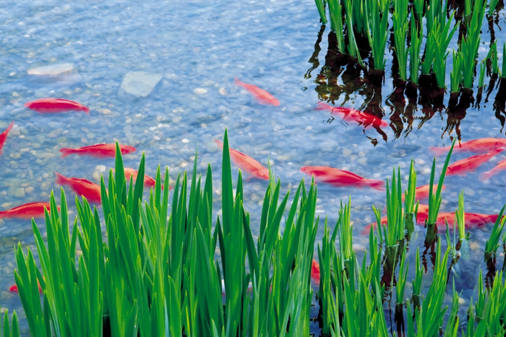 Vissen vijver producten tuincenter vincent for Vissen vijver