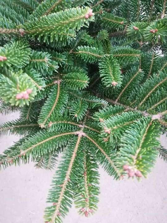 Kerstbomen te koop | Tuincenter Vincent