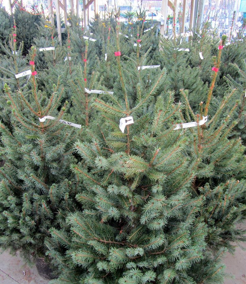 Echte kerstbomen kopen in Dendermonde