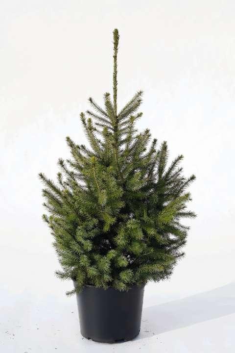 Servische Spar kopen | kerstbomen te koop | Tuincenter Vincent