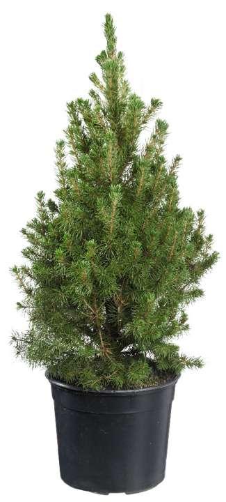 Picea glauca Conica | Tuincenter Vincent | Kerstbomen te Koop