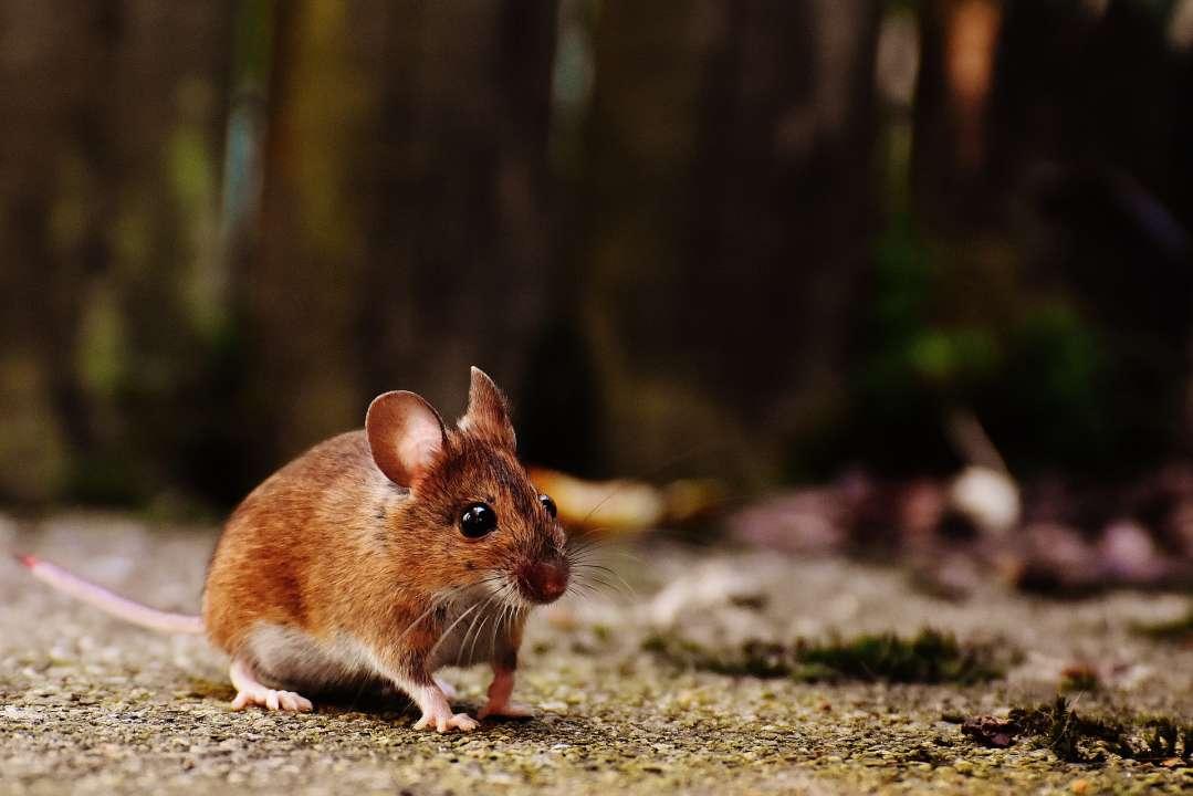 Muis in het wild