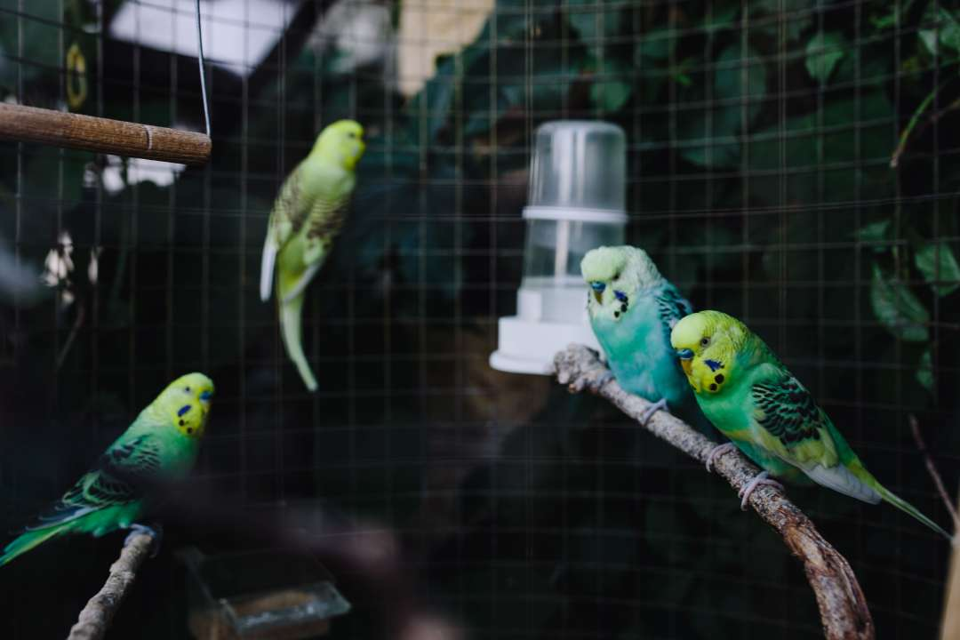 Parkieten in vogelkooi