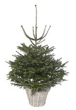 Abies Fraseri kerstboom | kerstbomen kopen | Tuincenter Vincent
