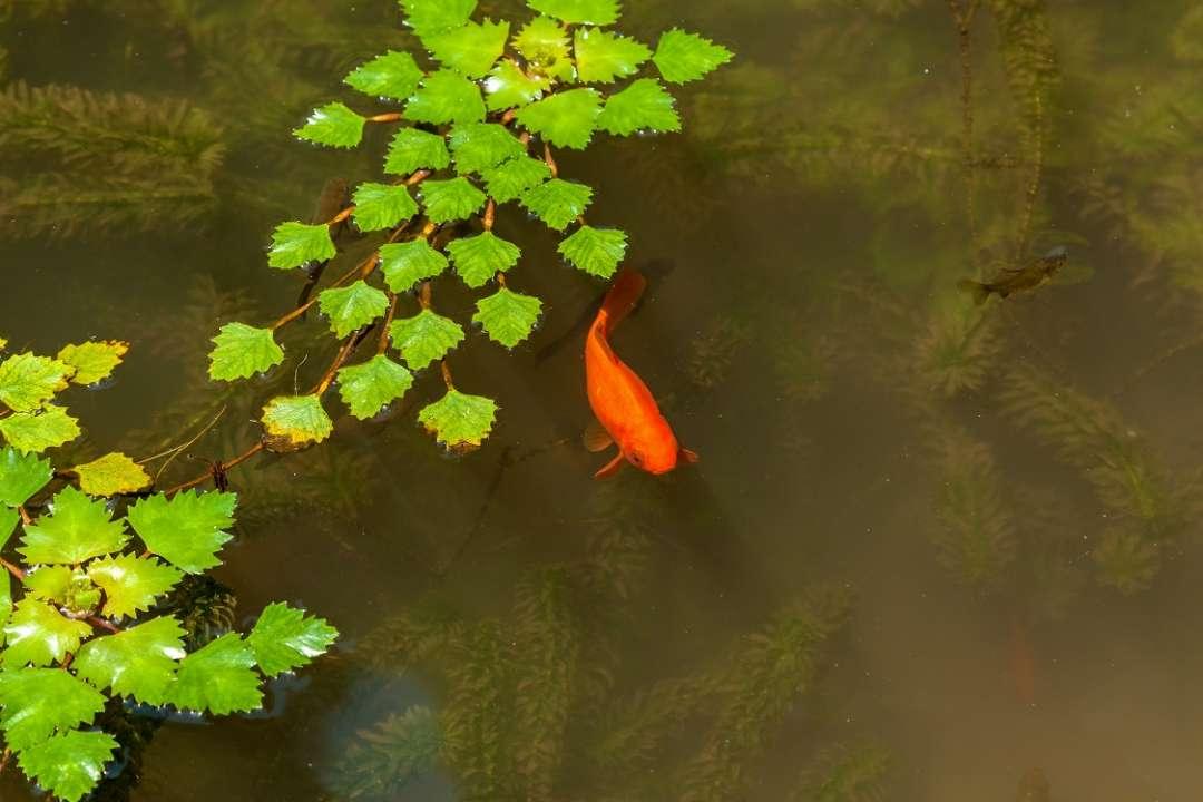 goudvis in vijver