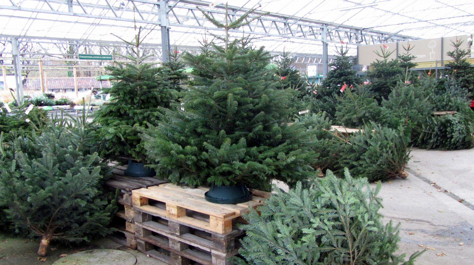 Kerstbomen te koop bij Tuincenter Vincent | Tuincenter-Vincent.be