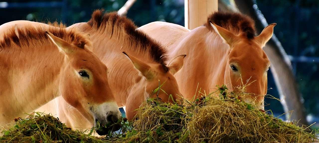 Paarden die hooi eten