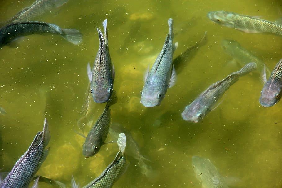 Water vol met zwarte vijvervissen
