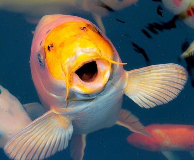 Een koikarper in vissenvijver