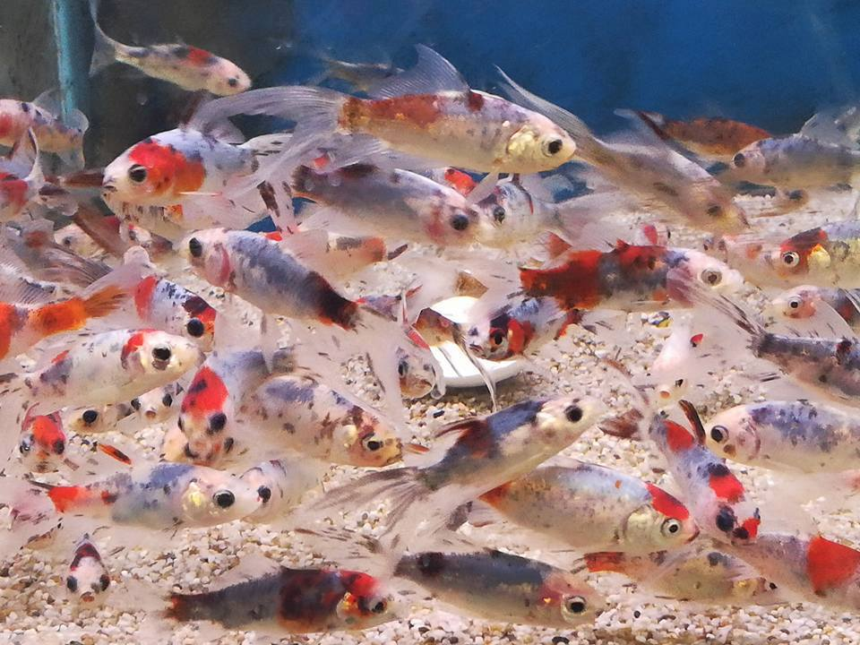 School vissen in aquarium