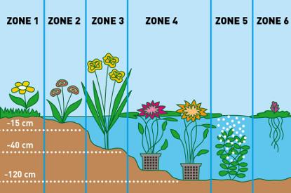 Vijverplanten-zones | Tuincenter Vincent | Alles voor uw vijver